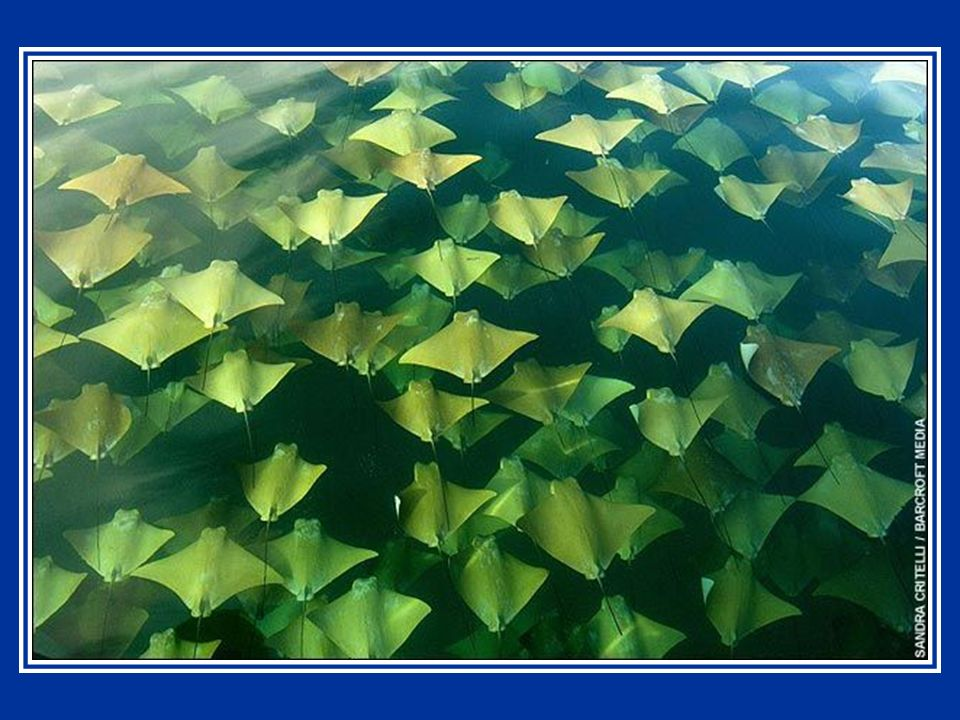 Ressemblant à des feuilles géantes flottant entre deux eaux, on a vu des milliers de raies dorées en train de se rassembler au large des côtes du Mexique.