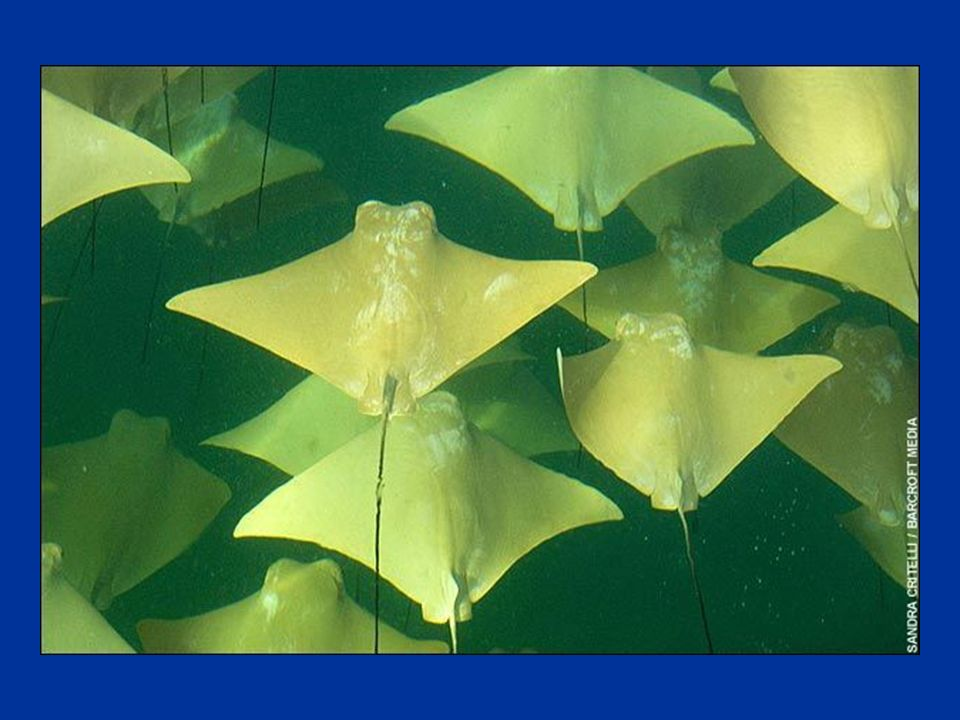 Mesurant jusquà 2,1 mètres denvergure, les raies dorées sont aussi plus prosaïquement appelées « raies aux naseaux de vache ».