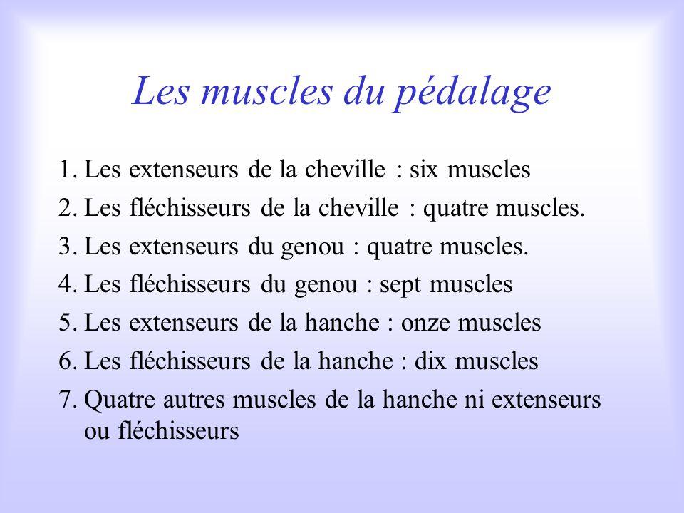Les muscles du pédalage 1.Les extenseurs de la cheville : six muscles 2.Les fléchisseurs de la cheville : quatre muscles.