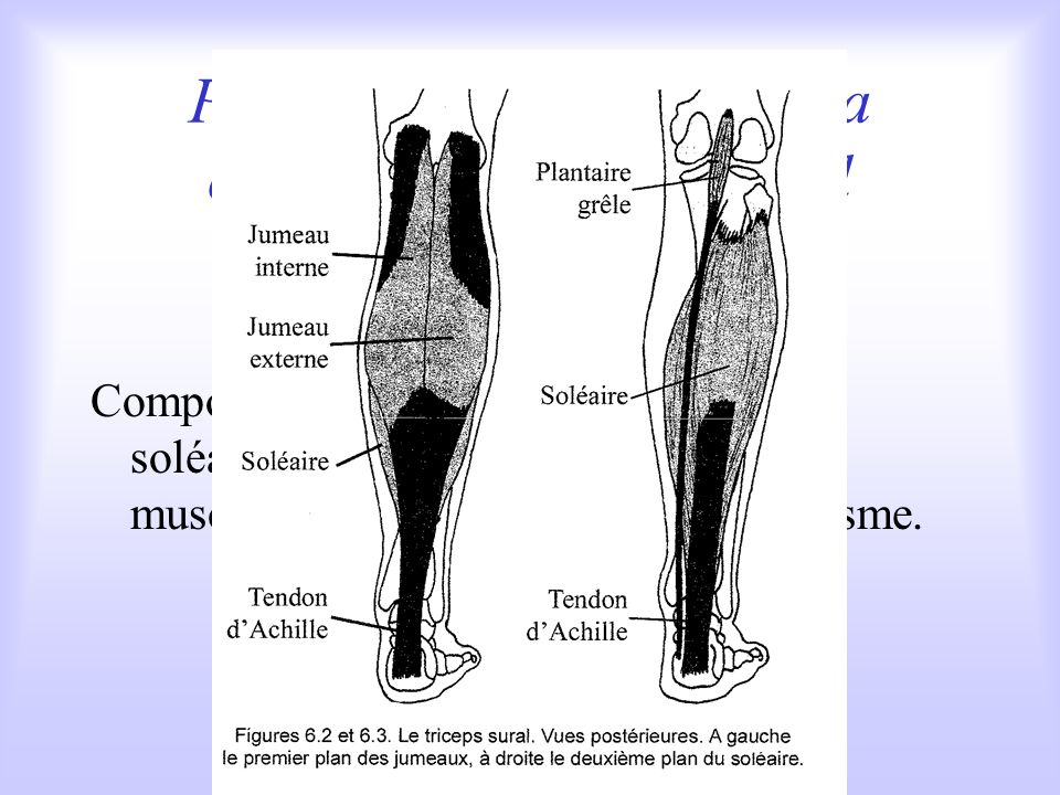 Parmi les extenseurs de la cheville : le triceps sural Composé de trois corps musculaires : le soléaire et les jumeaux, cest un des muscles les plus puissants de lorganisme.