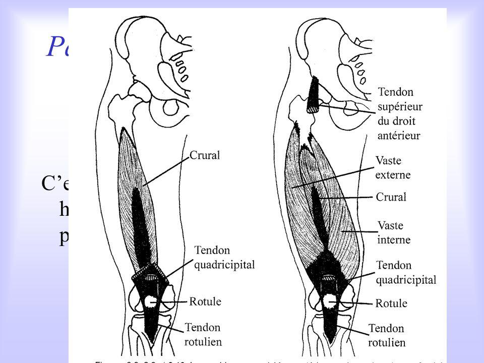 Parmi les extenseurs de la cheville : le triceps sural Composé de trois corps musculaires : le soléaire et les jumeaux, cest un des muscles les plus p