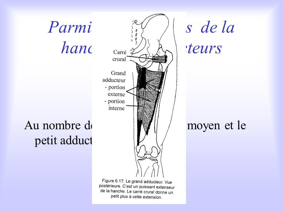 Parmi les extenseurs de la hanche: les adducteurs Au nombre de trois, le grand, le moyen et le petit adducteur.