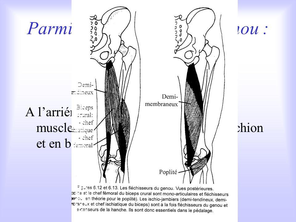 Parmi les fléchisseurs du genou : les ischio-jambiers A larriére de la cuisse, groupe de trois muscles qui sinsèrent en haut sur lischion et en bas sur les os de la jambe.