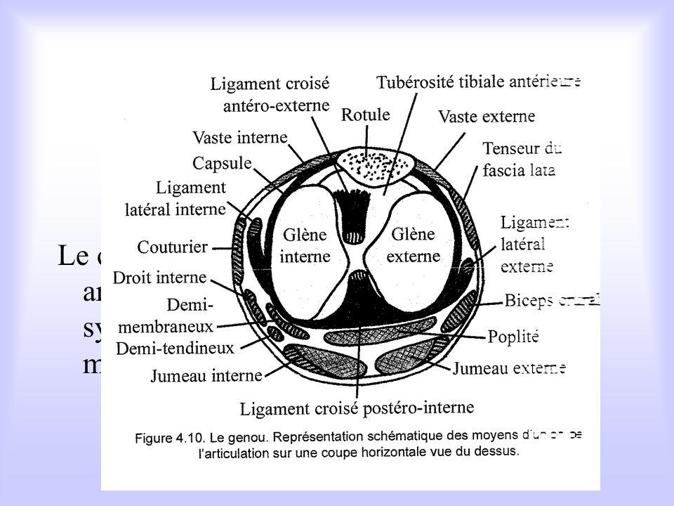 Parmi les fléchisseurs du genou : les ischio-jambiers A larriére de la cuisse, groupe de trois muscles qui sinsèrent en haut sur lischion et en bas su