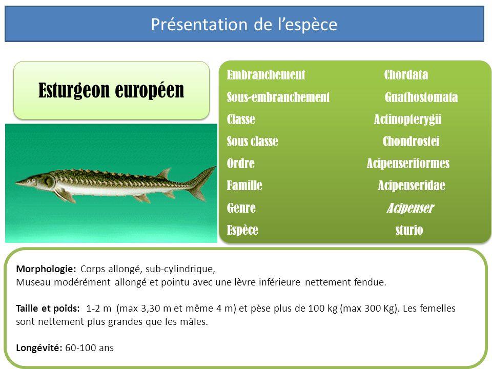 Esturgeon européen Embranchement Chordata Sous-embranchement Gnathostomata Classe Actinopterygii Sous classe Chondrostei Ordre Acipenseriformes Famill