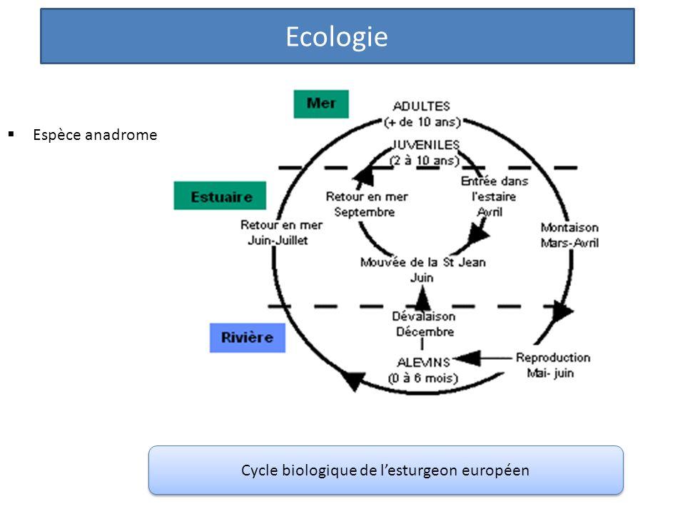 Espèce anadrome Cycle biologique de lesturgeon européen Ecologie