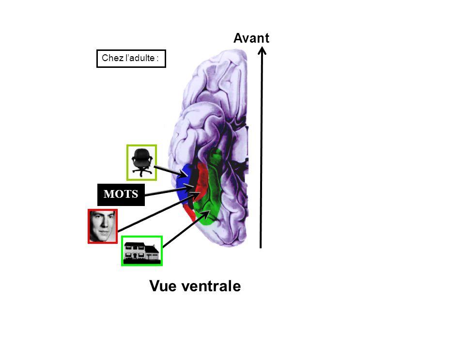 MOTS Avant Vue ventrale Chez ladulte :