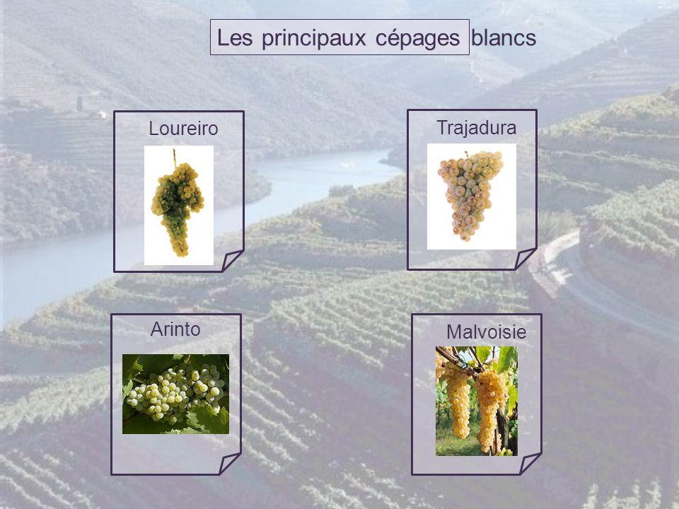 Les principaux cépages blancs Loureiro Trajadura Arinto Malvoisie