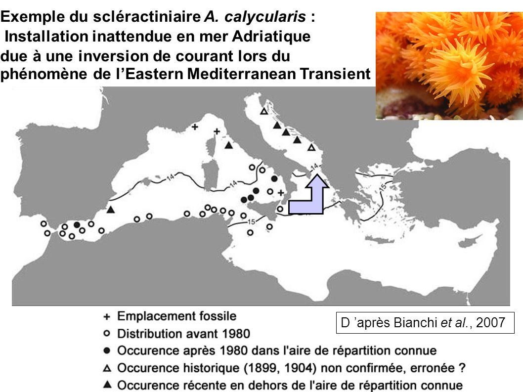 Installation inattendue en mer Adriatique Exemple du scléractiniaire A. calycularis : due à une inversion de courant lors du phénomène de lEastern Med