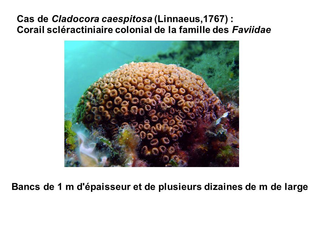 Cas de Cladocora caespitosa (Linnaeus,1767) : Corail scléractiniaire colonial de la famille des Faviidae Bancs de 1 m d'épaisseur et de plusieurs diza