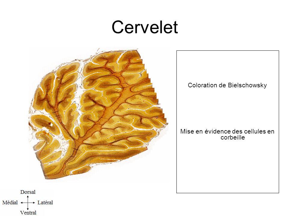 Cervelet Coloration de Bielschowsky Mise en évidence des cellules en corbeille l.