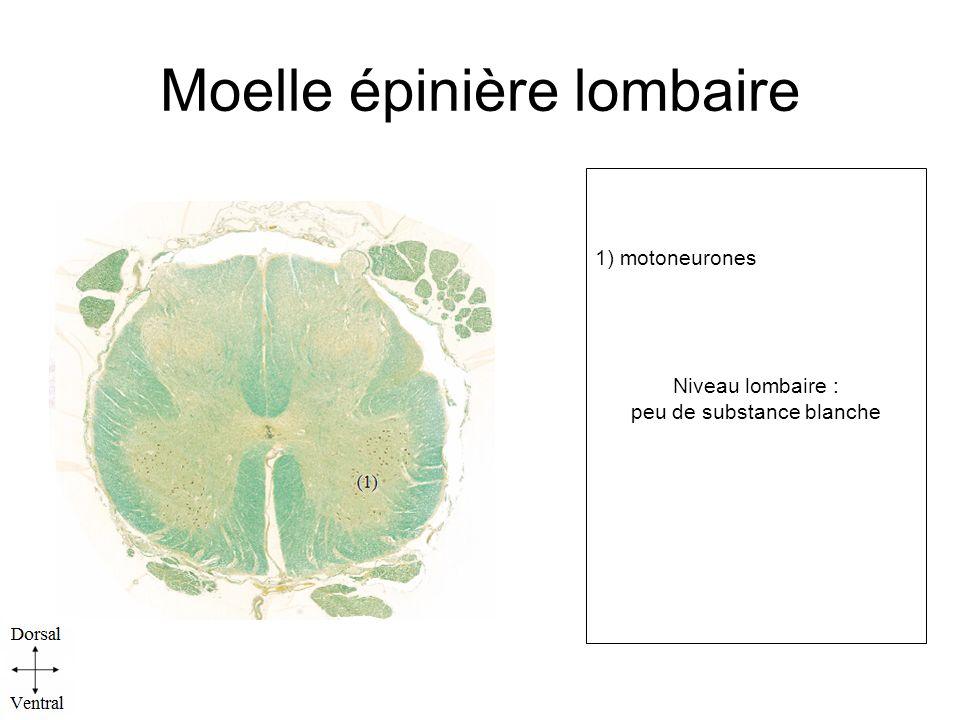 Moelle épinière lombaire 1) motoneurones Niveau lombaire : peu de substance blanche l.