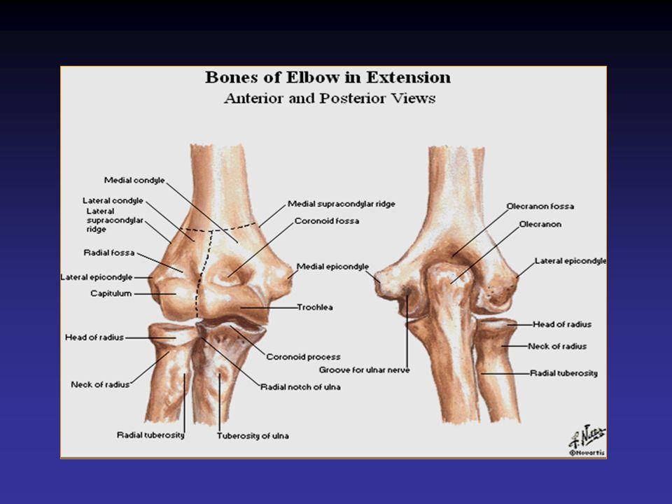 –Face postérieure : Tendon du triceps brachial sur lolécrane