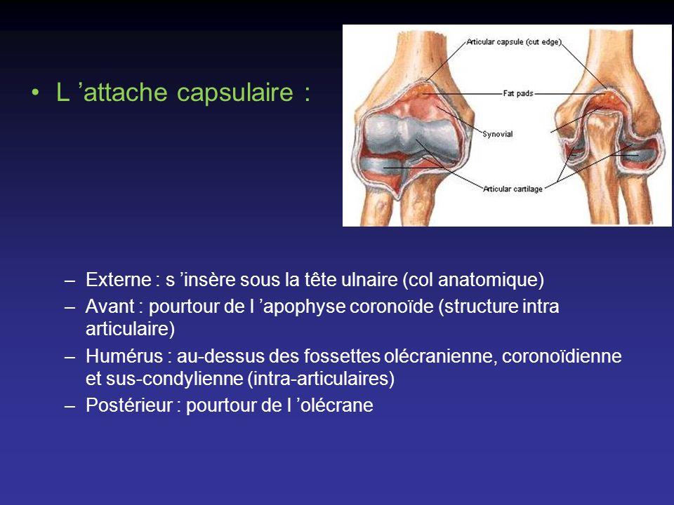 L attache capsulaire : –Externe : s insère sous la tête ulnaire (col anatomique) –Avant : pourtour de l apophyse coronoïde (structure intra articulair