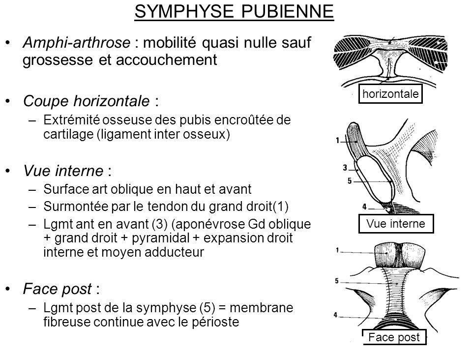 SYMPHYSE PUBIENNE Amphi-arthrose : mobilité quasi nulle sauf grossesse et accouchement Coupe horizontale : –Extrémité osseuse des pubis encroûtée de c