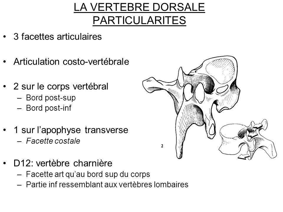 LA VERTEBRE DORSALE PARTICULARITES 3 facettes articulaires Articulation costo-vertébrale 2 sur le corps vertébral –Bord post-sup –Bord post-inf 1 sur