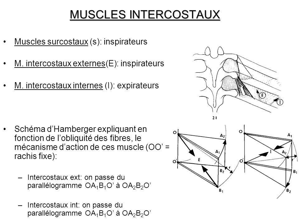 MUSCLES INTERCOSTAUX Muscles surcostaux (s): inspirateurs M. intercostaux externes(E): inspirateurs M. intercostaux internes (I): expirateurs Schéma d