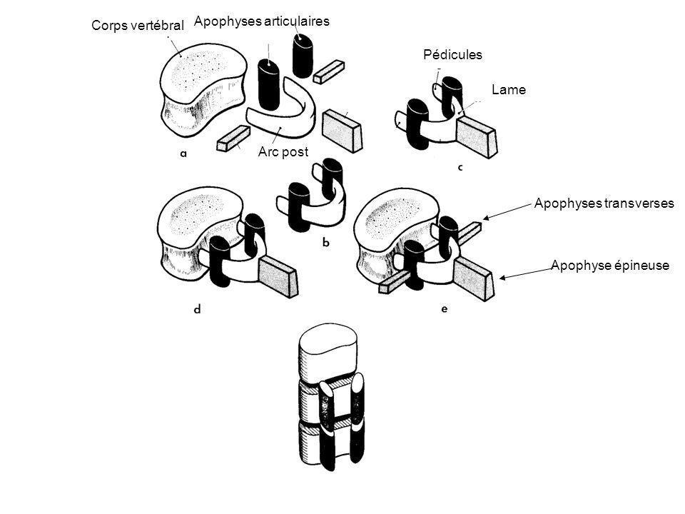 Axe rachidien: un trépier 3 colonnes le long du rachis: –Colonne principale en avant (corps vertébraux) –2 colonnettes secondaires en arrière (apophyses articulaires) Corps vertébraux réunis par DIV