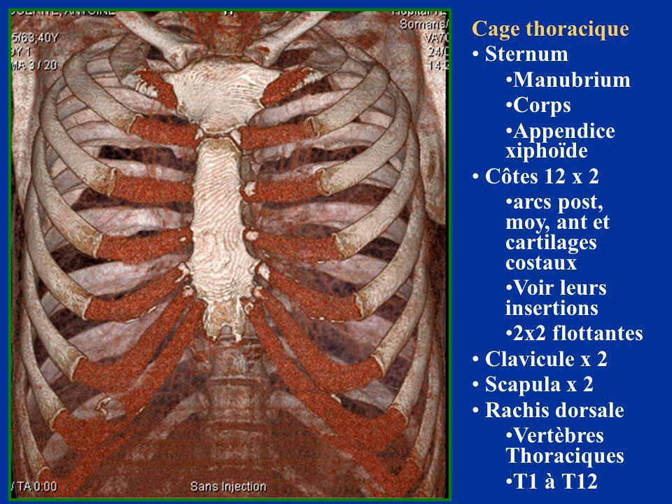 Cage thoracique Sternum Manubrium Corps Appendice xiphoïde Côtes 12 x 2 arcs post, moy, ant et cartilages costaux Voir leurs insertions 2x2 flottantes