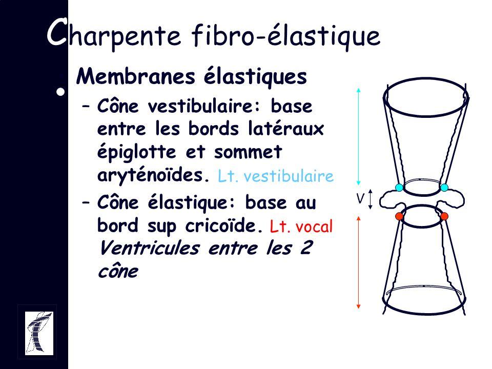 C harpente fibro-élastique Membranes élastiques –Cône vestibulaire: base entre les bords latéraux épiglotte et sommet aryténoïdes. –Cône élastique: ba