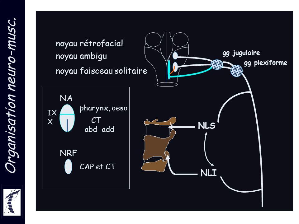 Organisation neuro-musc. gg jugulaire gg plexiforme noyau ambigu noyau rétrofacial NLS NLI noyau faisceau solitaire NA pharynx, oeso CT abd add IX X N