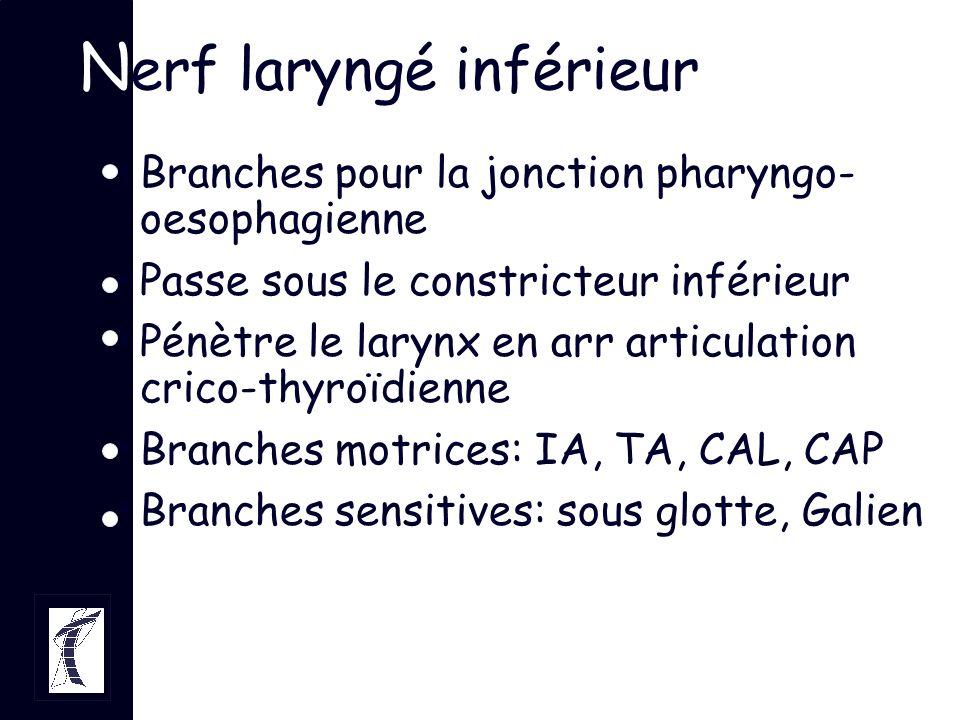 Branches pour la jonction pharyngo- oesophagienne Passe sous le constricteur inférieur Pénètre le larynx en arr articulation crico-thyroïdienne Branch