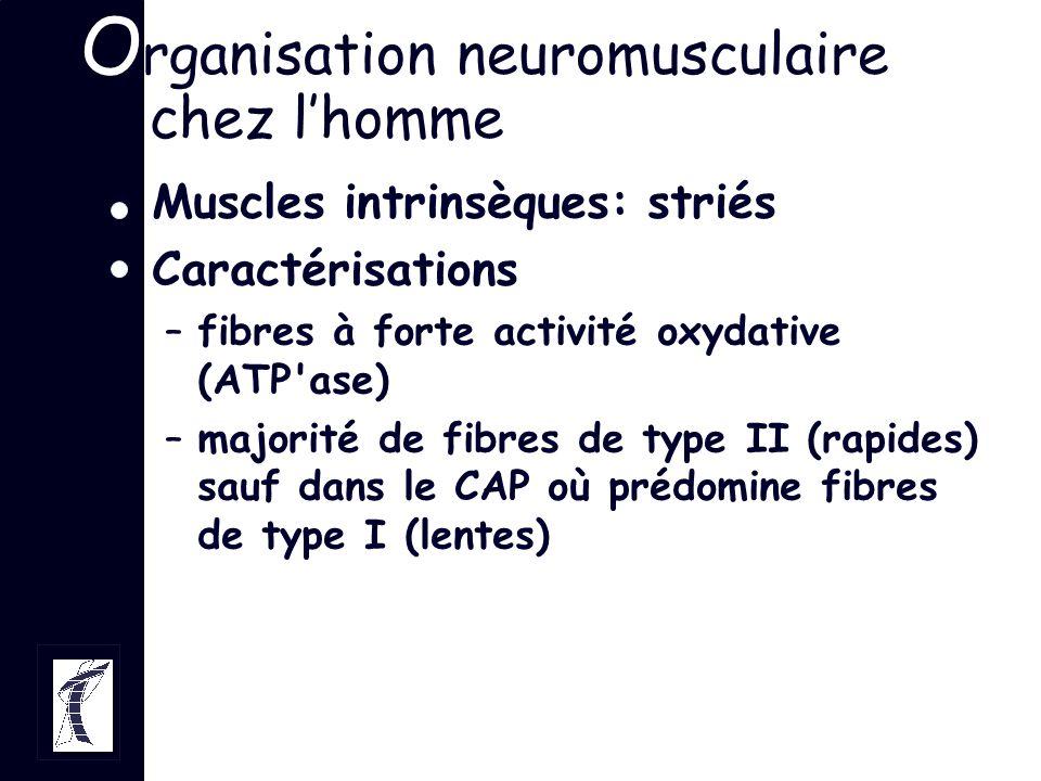 O rganisation neuromusculaire chez lhomme Muscles intrinsèques: striés Caractérisations –fibres à forte activité oxydative (ATP'ase) –majorité de fibr