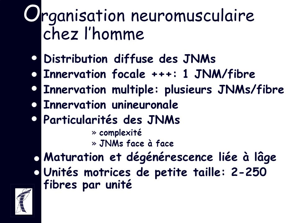 O rganisation neuromusculaire chez lhomme Distribution diffuse des JNMs Innervation focale +++: 1 JNM/fibre Innervation multiple: plusieurs JNMs/fibre
