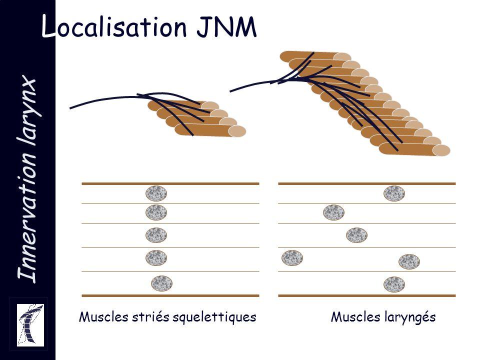 Innervation larynx L ocalisation JNM Muscles striés squelettiquesMuscles laryngés