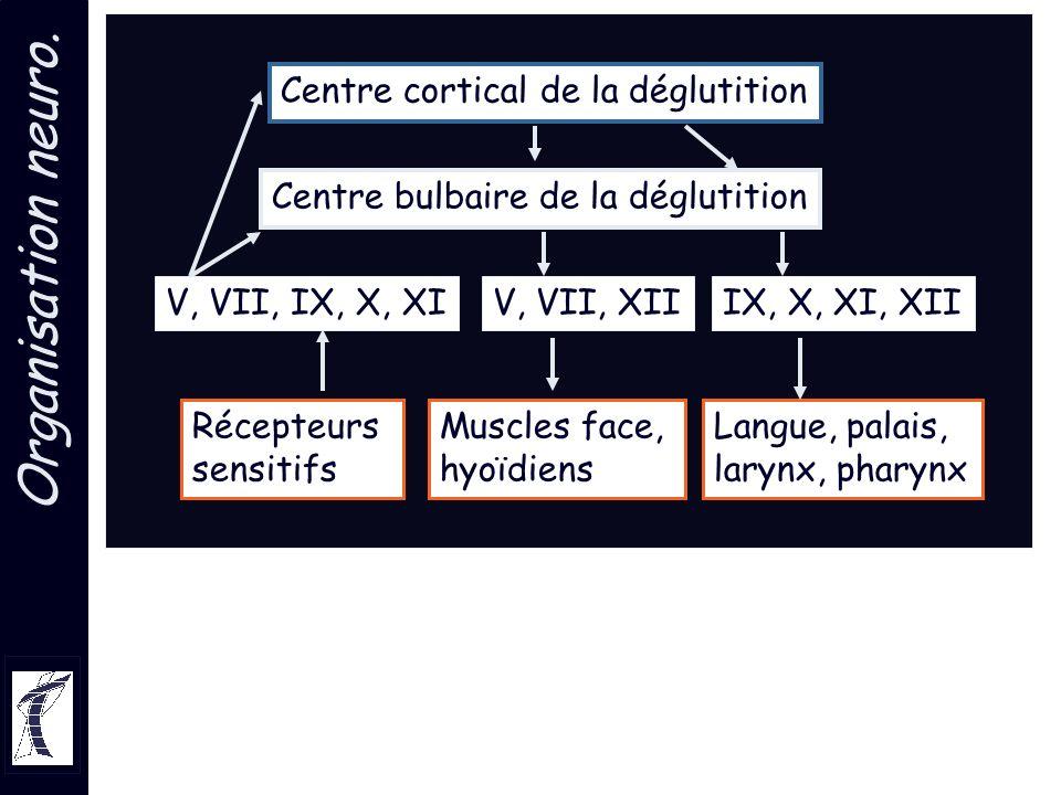 Organisation neuro. V, VII, IX, X, XIIX, X, XI, XIIV, VII, XII Centre bulbaire de la déglutition Centre cortical de la déglutition Récepteurs sensitif