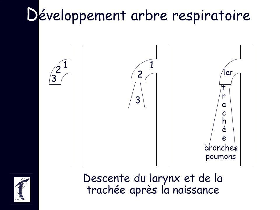 1 2 3 1 2 3 lar trachéetrachée bronches poumons D éveloppement arbre respiratoire Descente du larynx et de la trachée après la naissance