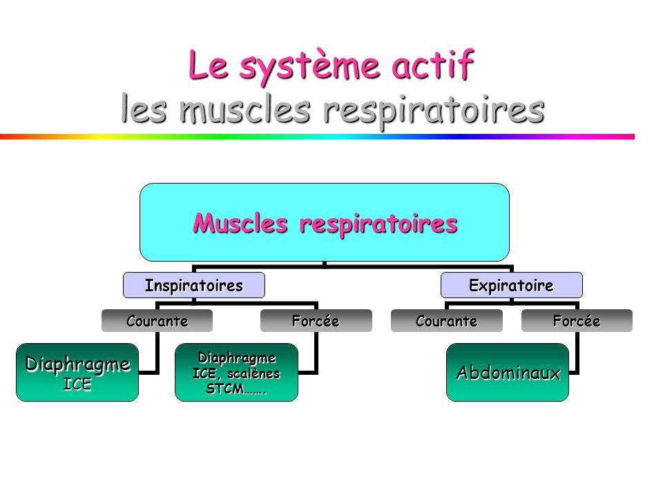 Le système actif les muscles respiratoires