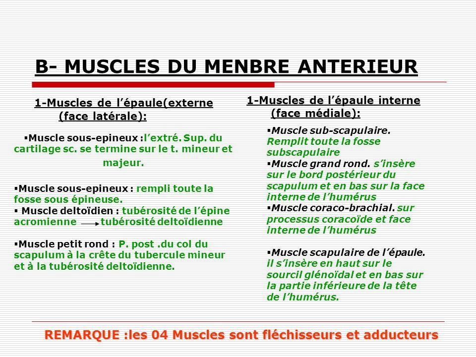 B- MUSCLES DU MENBRE ANTERIEUR 1-Muscles de lépaule(externe (face latérale): 1-Muscles de lépaule interne (face médiale): Muscle sous-epineux :lextré.