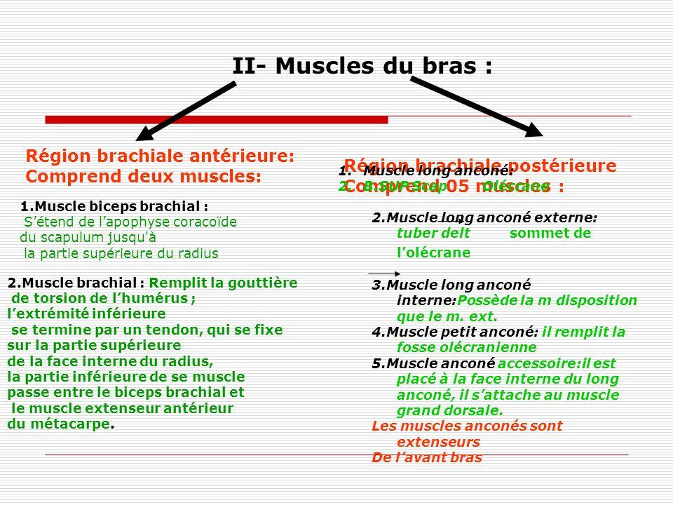 II- Muscles du bras : Région brachiale antérieure: Comprend deux muscles: 1.Muscle biceps brachial : Sétend de lapophyse coracoïde du scapulum jusqu'à