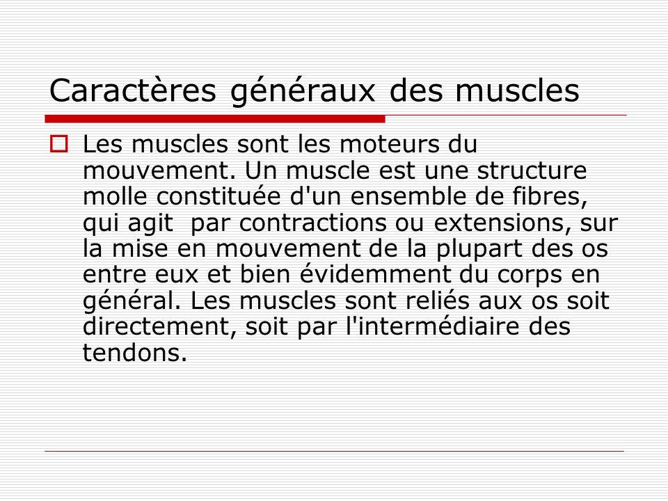 Caractères généraux des muscles Les muscles sont les moteurs du mouvement. Un muscle est une structure molle constituée d'un ensemble de fibres, qui a