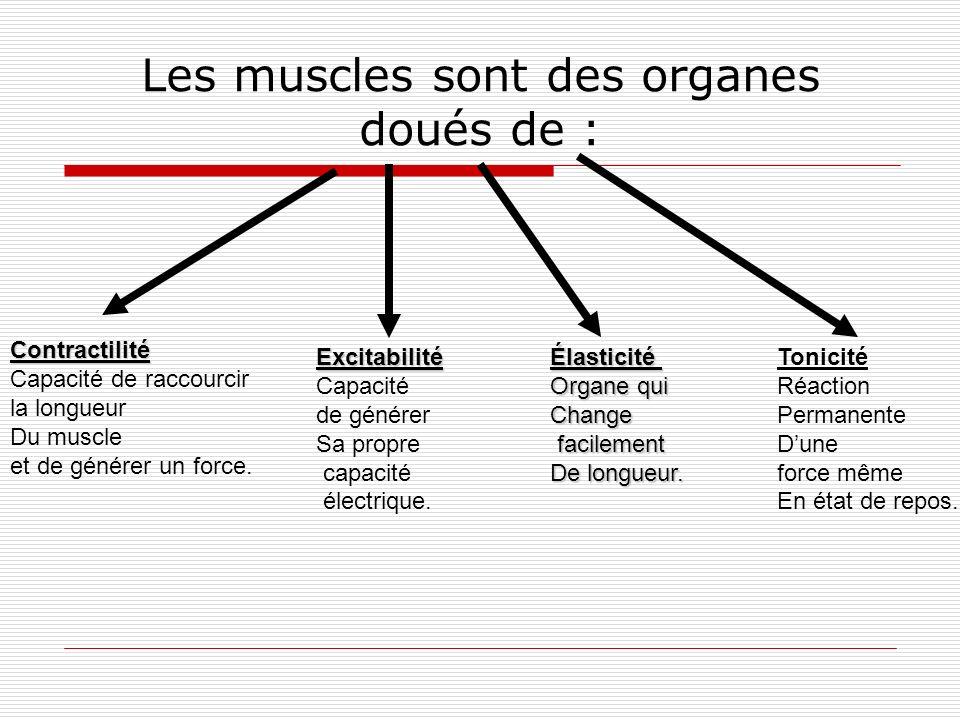 Les muscles sont des organes doués de : Contractilité Capacité de raccourcir la longueur Du muscle et de générer un force. Excitabilité Capacité de gé