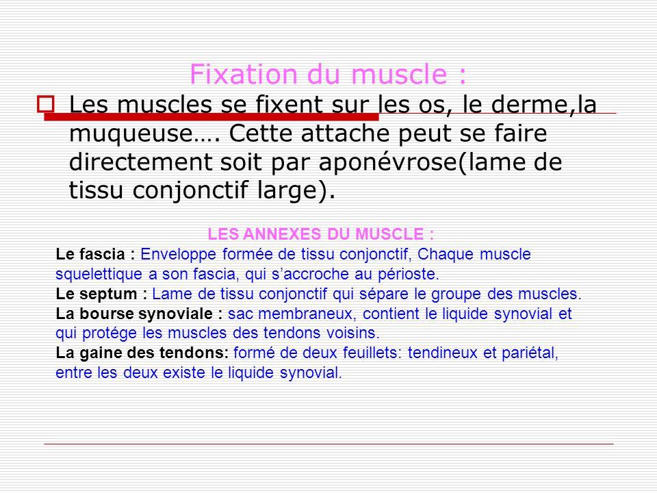 Fixation du muscle : Les muscles se fixent sur les os, le derme,la muqueuse…. Cette attache peut se faire directement soit par aponévrose(lame de tiss