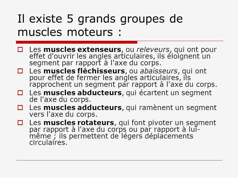 Il existe 5 grands groupes de muscles moteurs : Les muscles extenseurs, ou releveurs, qui ont pour effet d'ouvrir les angles articulaires, ils éloigne