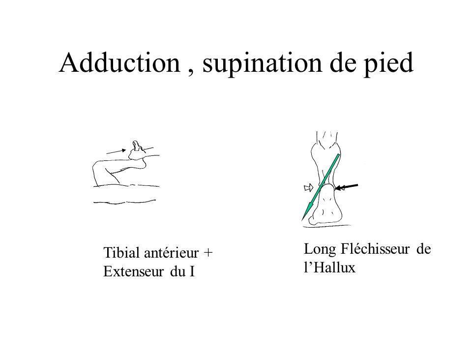 Adduction, supination de pied Long Fléchisseur de lHallux Tibial antérieur + Extenseur du I