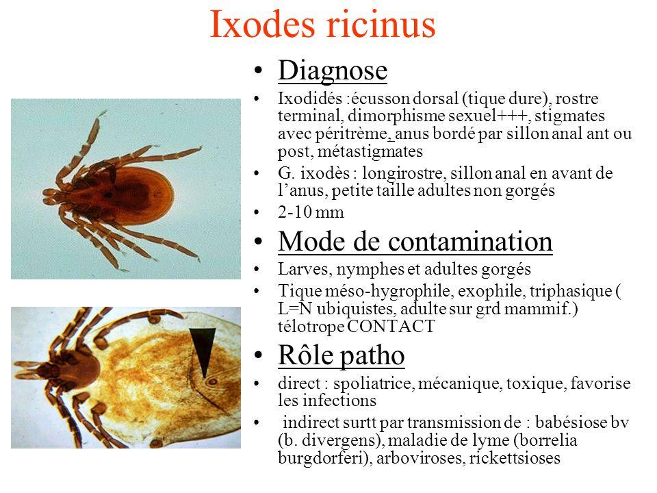 Ixodes ricinus Diagnose Ixodidés :écusson dorsal (tique dure), rostre terminal, dimorphisme sexuel+++, stigmates avec péritrème, anus bordé par sillon