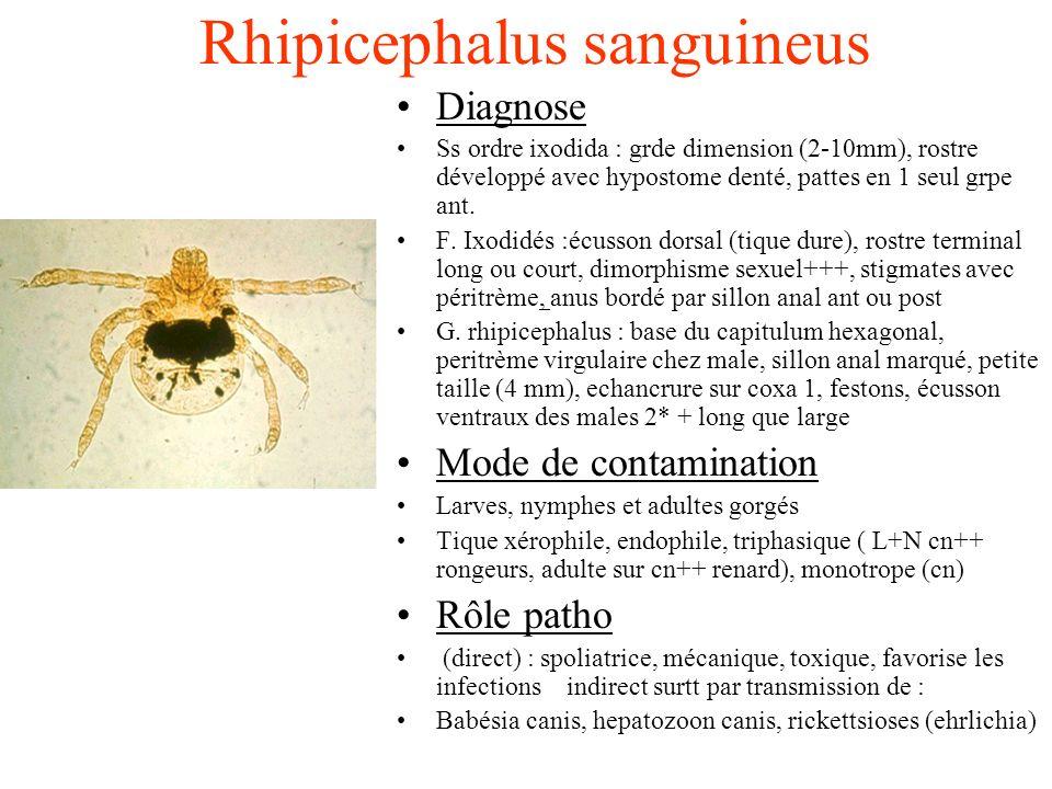 Rhipicephalus sanguineus Diagnose Ss ordre ixodida : grde dimension (2-10mm), rostre développé avec hypostome denté, pattes en 1 seul grpe ant. F. Ixo