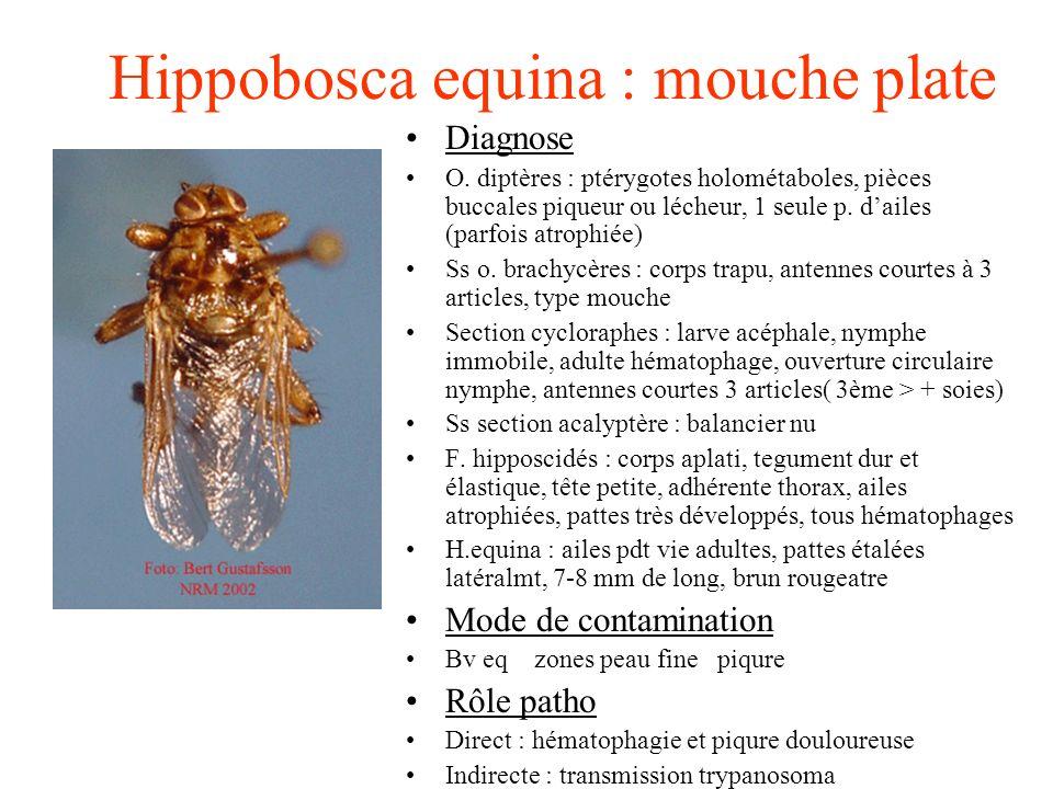 Hippobosca equina : mouche plate Diagnose O. diptères : ptérygotes holométaboles, pièces buccales piqueur ou lécheur, 1 seule p. dailes (parfois atrop