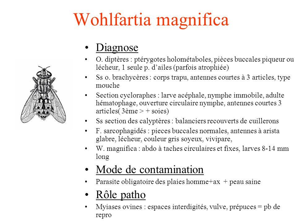 Wohlfartia magnifica Diagnose O. diptères : ptérygotes holométaboles, pièces buccales piqueur ou lécheur, 1 seule p. dailes (parfois atrophiée) Ss o.