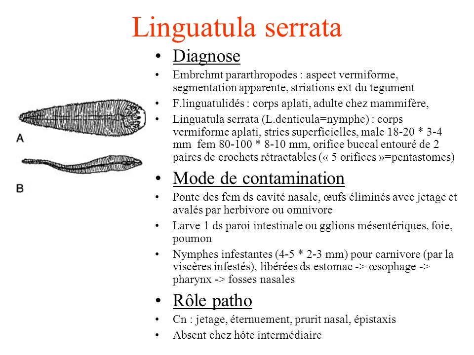 Linguatula serrata Diagnose Embrchmt pararthropodes : aspect vermiforme, segmentation apparente, striations ext du tegument F.linguatulidés : corps aplati, adulte chez mammifère, Linguatula serrata (L.denticula=nymphe) : corps vermiforme aplati, stries superficielles, male 18-20 * 3-4 mm fem 80-100 * 8-10 mm, orifice buccal entouré de 2 paires de crochets rétractables (« 5 orifices »=pentastomes) Mode de contamination Ponte des fem ds cavité nasale, œufs éliminés avec jetage et avalés par herbivore ou omnivore Larve 1 ds paroi intestinale ou gglions mésentériques, foie, poumon Nymphes infestantes (4-5 * 2-3 mm) pour carnivore (par la viscères infestés), libérées ds estomac -> œsophage -> pharynx -> fosses nasales Rôle patho Cn : jetage, éternuement, prurit nasal, épistaxis Absent chez hôte intermédiaire