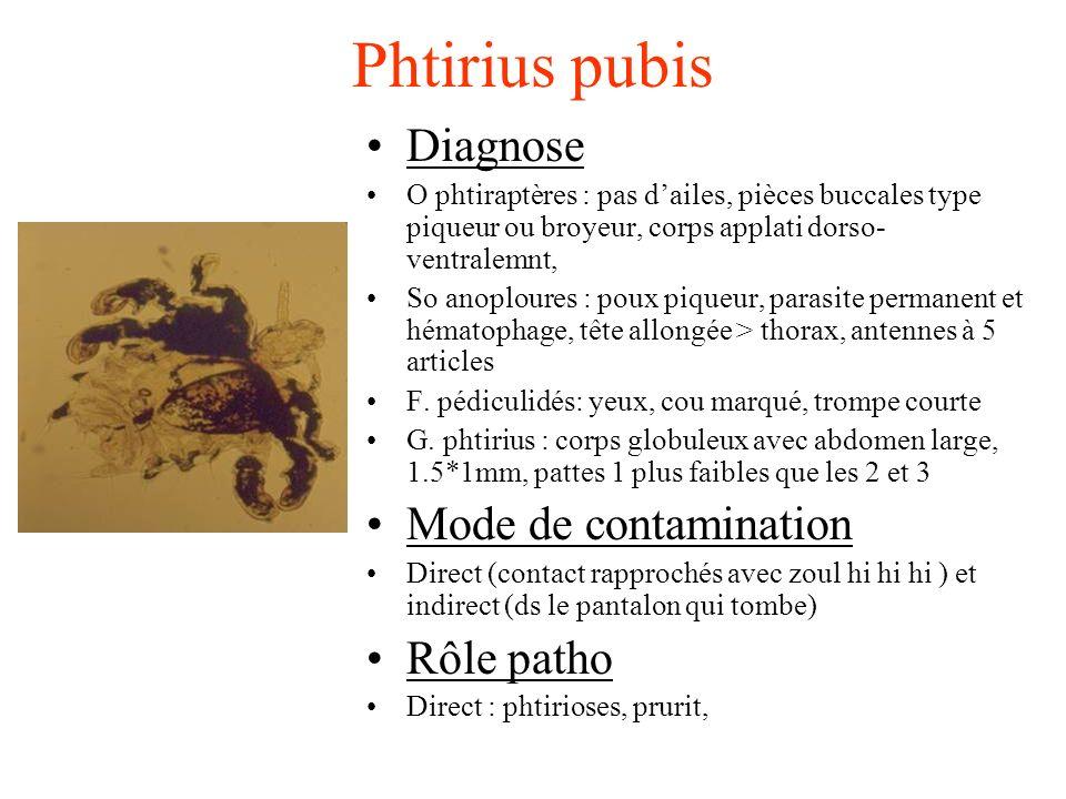 Phtirius pubis Diagnose O phtiraptères : pas dailes, pièces buccales type piqueur ou broyeur, corps applati dorso- ventralemnt, So anoploures : poux p