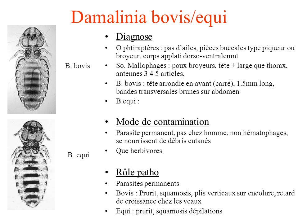 Damalinia bovis/equi Diagnose O phtiraptères : pas dailes, pièces buccales type piqueur ou broyeur, corps applati dorso-ventralemnt So. Mallophages :