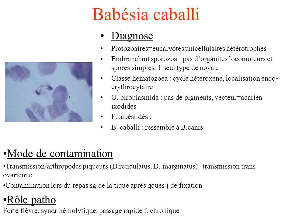 Babésia caballi Diagnose Protozoaires=eucaryotes unicellulaires hétérotrophes Embranchmt sporozoa : pas dorganites locomoteurs et spores simples, 1 se