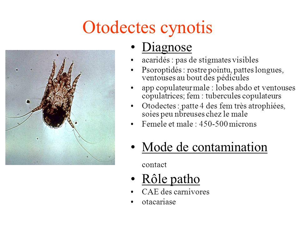 Otodectes cynotis Diagnose acaridés : pas de stigmates visibles Psoroptidés : rostre pointu, pattes longues, ventouses au bout des pédicules app copul