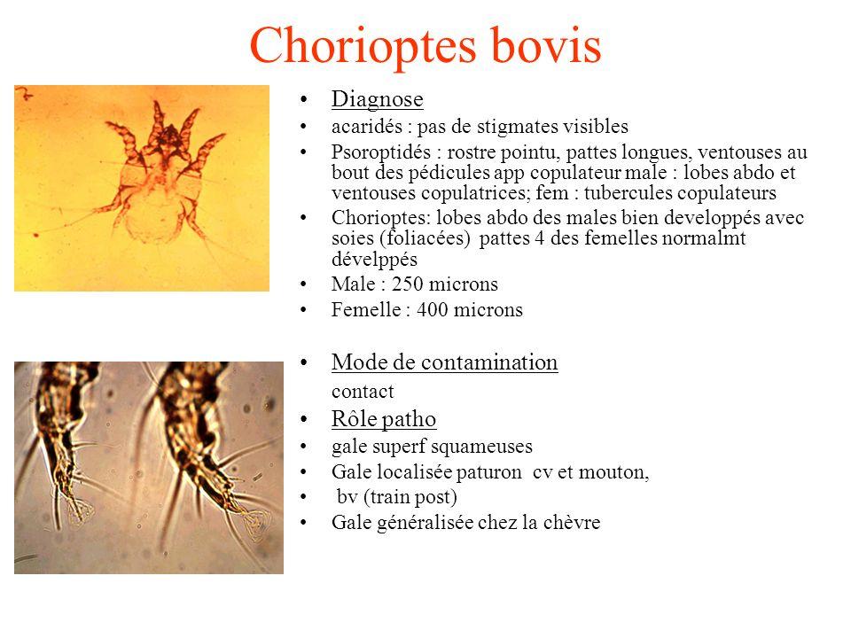 Chorioptes bovis Diagnose acaridés : pas de stigmates visibles Psoroptidés : rostre pointu, pattes longues, ventouses au bout des pédicules app copula