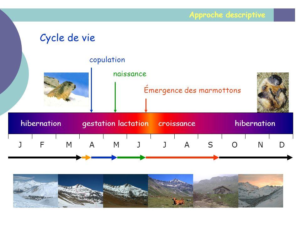 Approche descriptive Cycle de vie Émergence des marmottons JFMAMJJASOND naissance copulation hibernation gestationcroissancelactation